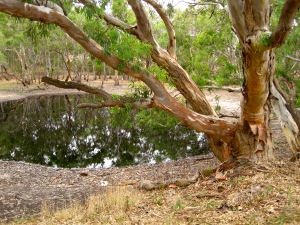 Black Gully Dam, Inverleigh Flora & Fauna Reserve