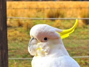 Curious Cockatoo at Halls Gap
