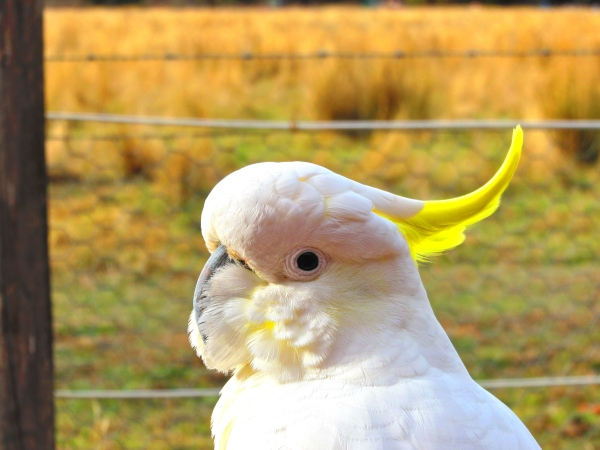 Curious Cockatoo at Halls Gap