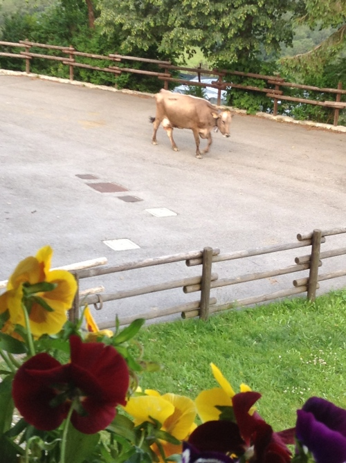 Cows puttering past the refuggio on their way to dinner!