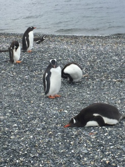 This gentoo penguin (the orange beaked sleepy one) clearly feels like I do after a long day's walk
