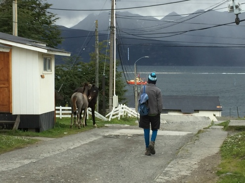 More freely wandering horses than people in Puerto Willaims